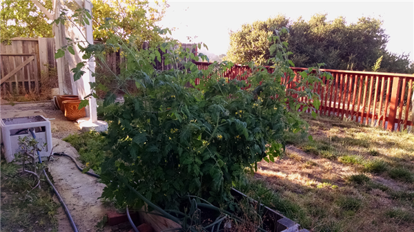 Home garden, with a tomato plant.