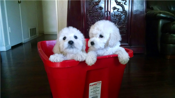 Maltipoo (Maltese and Poodle Mix) Puppies!