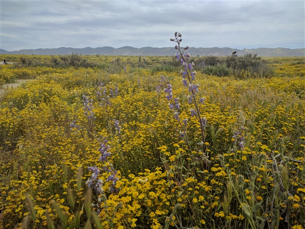 Wildflower super bloom in Carizzo Plain National Monument.