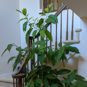 My Michelia Alba growing around the staircase. This spot gives it more sunlight with more vertical space to grow!